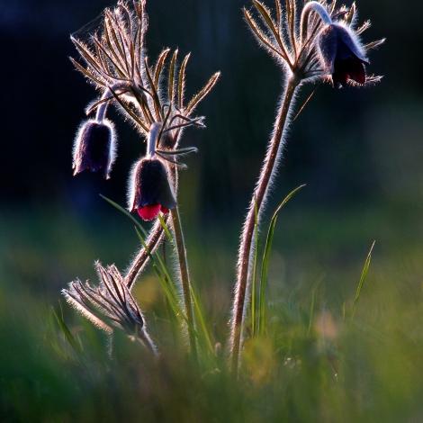 Fekete kökörcsin (Fotó:Bajor Zoltán)