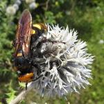 Óriás tőrösdarázs (Megascolia maculata) nősténye (Nagy Sándor felvétele)