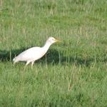 Pásztor gém (Bubulcus ibis)  Fotó: Polgár Márta