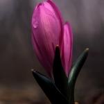 Egyhajúvirág (fotó: Szénási Valentin)