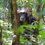 A csimpánz (Pan troglodytes) madarászás közben véletlenül került a csapat szeme elé. (Fotó: Klébert Antal)