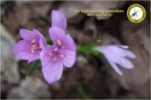 Egyhajúvirág (Fotó: Morvai Szilárd)