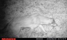 Kameracsapda felvétel a Börzsönyi farkasról (Forrás: Bedő Péter - Börzsöny Alapítvány)