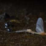 A lárvabőrből előbújó párzóképes hím dunavirág. A kérész (Ephoron virgo)  védett faj,  természetvédelmi értéke 10 000 forint. (Fotó: Potyó Imre)
