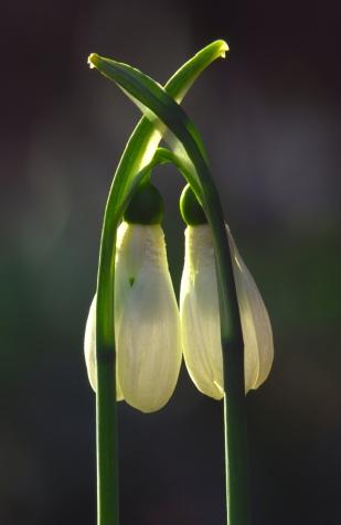 Hóvirágok (Fotó: Forrásy Csaba)