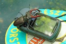 Nagy szarvasbogár a GPS-szel (Fotó: Klébert Antal)