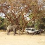 Az afrikai elefánt bika (Loxodonta africana ) könnyedén felboríthatta volna madarászaink terepjáróját, de inkább békésen eszegette a fa termését (Fotó: Klébert Antal)