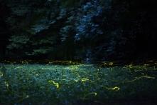 Szentjánosbogarak (Fotó: Dóczi Tamás)