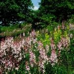 Nagyezerjófű virágzása a kerepesi Küdői-hegyen