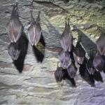 Telelő kis patkósdnevérek (Rhinolophus hipposideros) csoportja egy csákvári pincében. (Fotó: Klébert Antal)