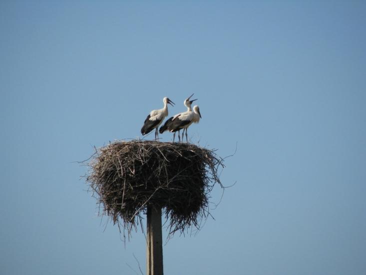 Fehér gólyák (fotó: Karlné Menráth Réka)