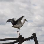 Fehér gólya a tanösvény kezdeténél (Fotó: Kálmán Gergely)