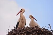Fehér gólyák