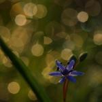 Tavaszi csillagvirág Gomba határában