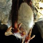Hegyesorrú denevér (Myotis blythii, fotó: Berentés)