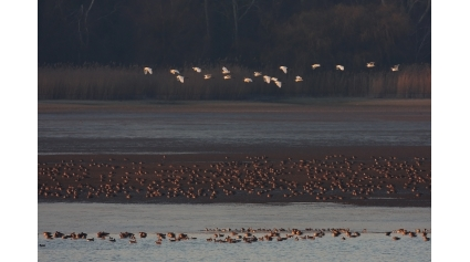 Vadludak, Öreg-tó (Fotó: Csonka Péter)