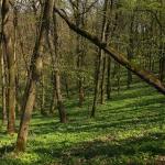 Tatáruharos lösztölgyes a Hársas (Lipina)-völgyben