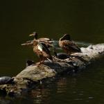 Tőkés récék és mocsári teknősök a tóban (fotó: H. Kolláth Mária)
