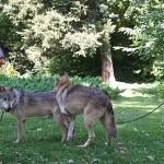 Farkasbemutató