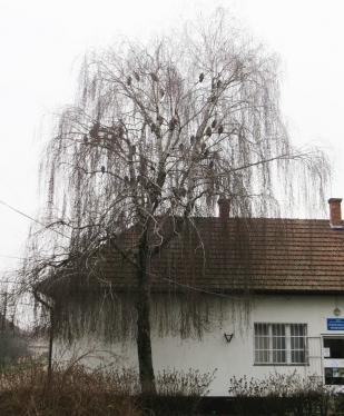 Erdei fülesbagolyok Jászkarajenőn (Fotó: Vincze Tibor)