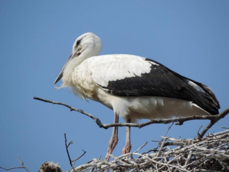 Fehér gólya fióka (Fotó: Karlné Menráth Réka)