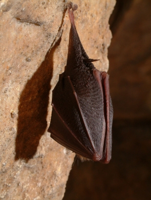 Denevér, Pál-völgyi-barlang