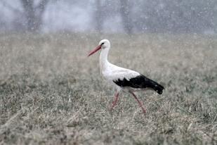 Gólya a hóesésben (Fotó: Klébert Antal)