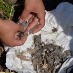 Táplálékmaradvány vizsgálata (Fotó: Berkó Gyöngyi)
