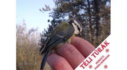 Téli madárgyűrűzés (Fotó: Berecz Tibor)