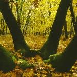 Kocsányos tölgy sarjcsoport az isaszegi Sikló-völgyben