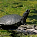 Mocsári teknős (Fotó: Kalotás Zsolt)