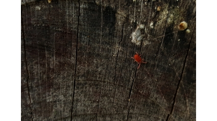 Apró élet a Börzsönyben – bársonyatka (Fotó: Tarjányi Nikolett)