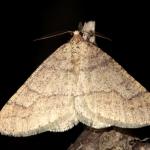 Sárgás tavaszi araszoló (Agriopis marginaria) gyakori éjjeli lepke, melyet a szárnyak szegélyén lévő pontsorról is felismerhetünk.(Fotó: Klébert Antal)