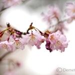 Április közepén virágzik nagy tömegben a sakura (Prunus serrulata)