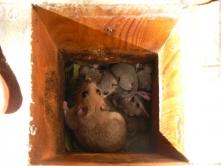 Nyári odúles a Börzsönyben – nagy pelék (Fotó: Királyrét archívum)