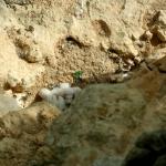 Vándorsólyom fészek rablás a Pilisben 3 (Fotó: Novák Adrián)