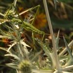 Fűreszeslábú szöcske (fotó: Pethő Judit)