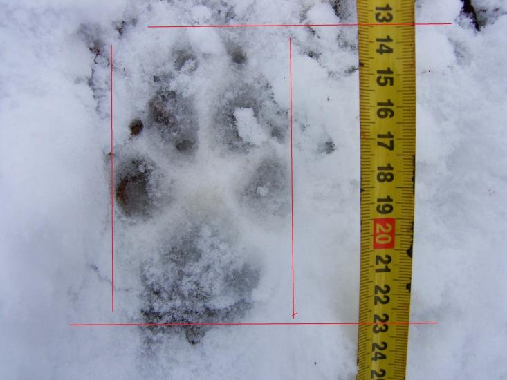 Farkas-nyom a Börzsönyben 1 (Fotó: Darányi László)
