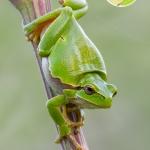 A zöld levelibéka szép színe miatt a gyerekek kedvence a mentés ideje alatt is