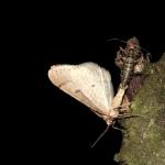 Párosdó sárgás tavaszi araszoló (Agriopis marginaria) A nöstény példányok röpképtelenek (Fotó: Klébert Antal).