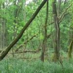 A visszahagyott holtfák fontos szerepet játszanak az erdei életközösségek életében (Fotó: Nagy István)