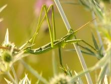A gyepek királynője a fűrészlábú szöcske (fotó: Pethő Judit)