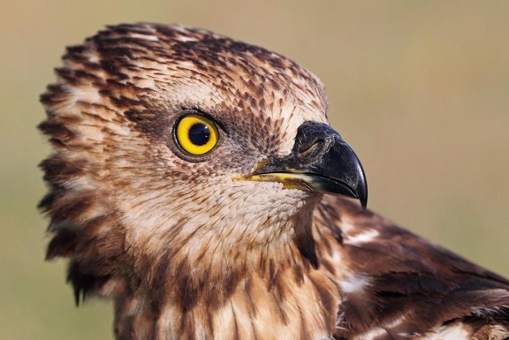 Darázsölyv (Pervis apivorus) portréja (Fotó: Csonka Péter)