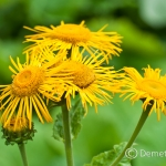 A nyár második felében nyílik a feltűnő Teleki-virág (Telekia speciosa)