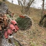 A pirosló termések, benne a magokkal. Nagyon kell ügyelni arra, hogy letört növényi részek, lepattant termések ne maradjanak a területen! (Fotó: Klébert Antal)