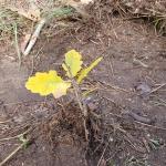 Faültetés a Fóti-Somlyó Természetvédelmi Területen (Fotó: Szontaghné Mosoni Dóra)