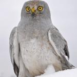 Kékes rétihéja - védett faj, rendszeres téli vendég a terület hegylábi lejtőin (Fotó: Klébert Antal)