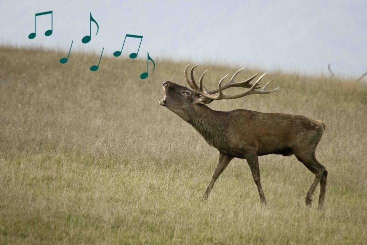 Éneklő gímszarvas (Eredeti fotó: Berényi Csaba)