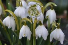 Teltvirágú hóvirág (Fotó: Klébert Antal)