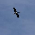 Fekete gólya (Fotó: Nagy István)
